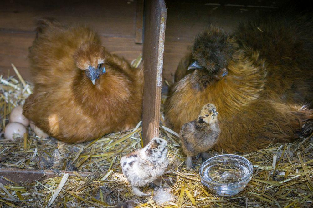 Hühner am Schörhof